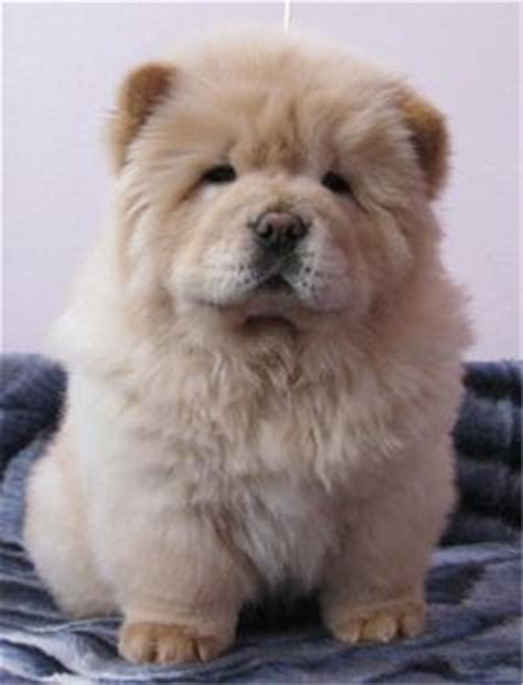 Apartment Designer by Pictures And Infos Of Chow Chow Dog Fallinpets