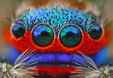 colorful pictures colorful world colorful adult male jumping spider eyes