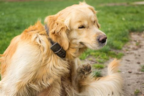 bacterial infection in dogs bacterial skin infections in dogs animals me