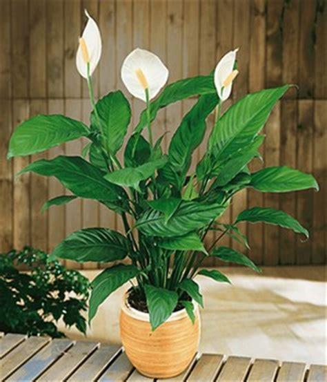 Einblatt Pflege Tipps by Einblatt Pflege Tipps Spathiphyllum F 252 R Sie