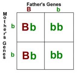 punnett square eye color heredity mr b s science