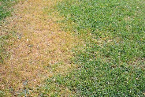 Backyard Wheat Lawn Pests