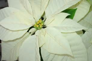 white poinsettia poinsettia white shady greenhouses