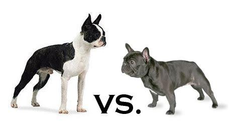 boston bull terrier puppies boston vs frenchie animals bulldogs terrier and