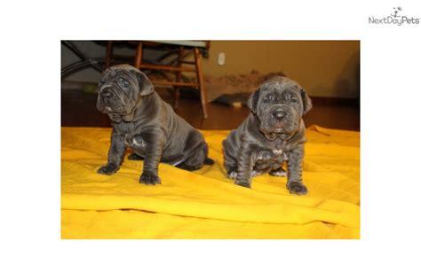 neapolitan mastiff puppies for adoption find neapolitan mastiff puppies for sale and dogs for adoption breeds picture