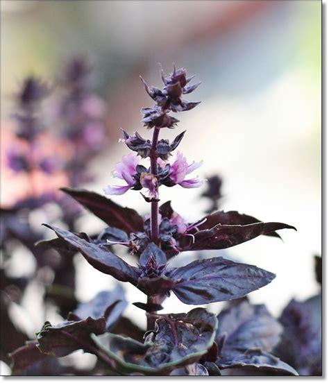 fiori di basilico olio ai fiori di basilico viola purple basil flowers