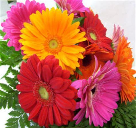 fiori gerbere coltivazione gerbera