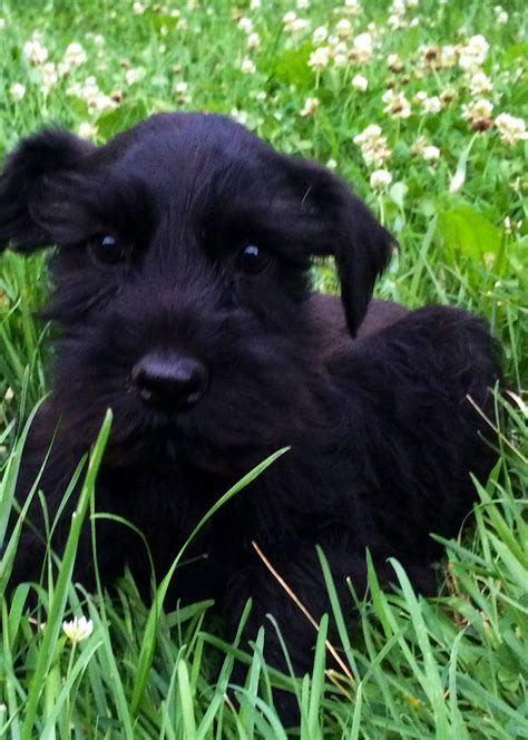 black miniature schnauzer puppies for sale black miniature schnauzer puppies for sale