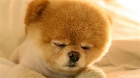 cutest pomeranian puppy pomeranian puppies wallpaper image free hd wallpaper