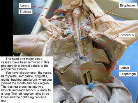 fetal pig anatomy diagram index of biohandouts fetal pig lab dissection