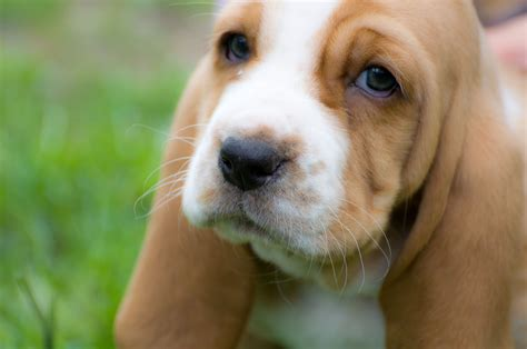 free basset hound puppies basset hound puppy 6 check out my website here chris brown flickr