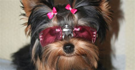 small yorkie all list of different dogs breeds yorkie dogs small breeds