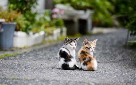 wallpaper of cute cat couple cute couple kitten cat wallpaper widescreen hd