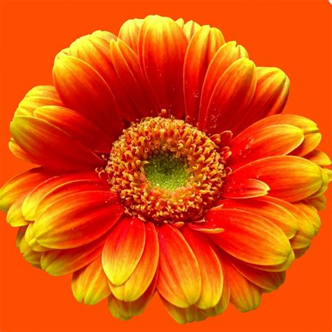 fiore gerbera gerbera orange nature 183 free image on pixabay