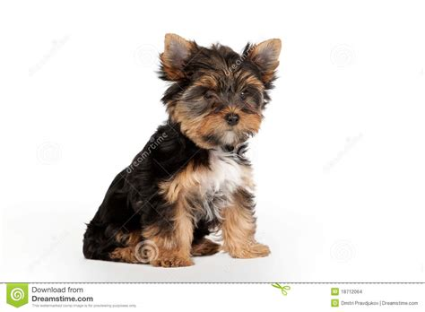 yorkie clipart yorkie pet clipart clipart suggest