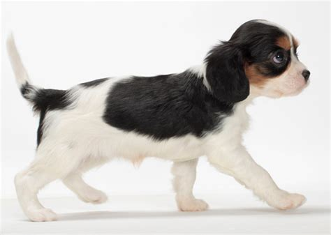 Dogs That Don T Shed For Sale by Apartment Dogs That Don T Shed Theapartment