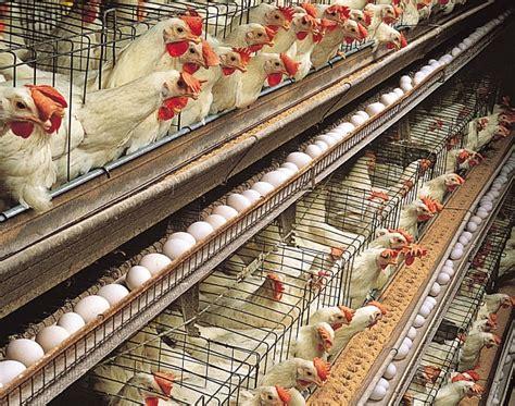 galline allevate in gabbia uova come riconoscere come vengono allevate le galline
