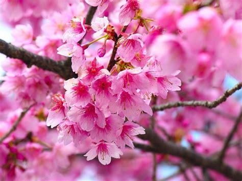 fiore di ciliegio significato fiore di ciliegio significato dei fiori
