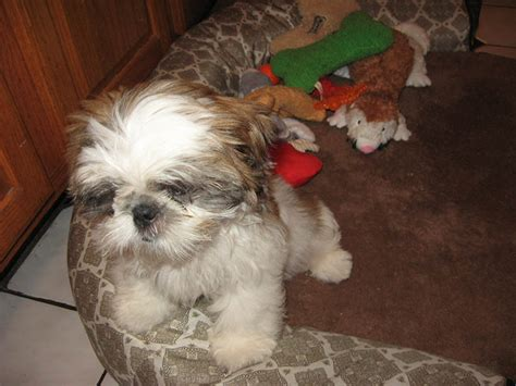 shih tzu eye infection my shih tzu has eye problems syndromes and infection treatment