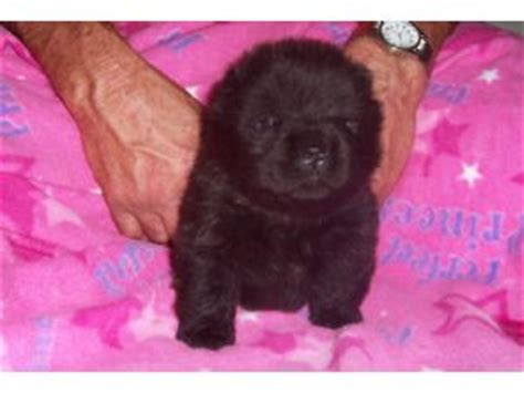 chow chow puppies for sale in nc chow chow puppies for sale