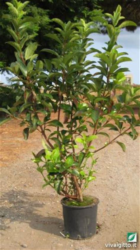 viburnum tinus vaso arbusti ornamentali viburnum tinus lucidum