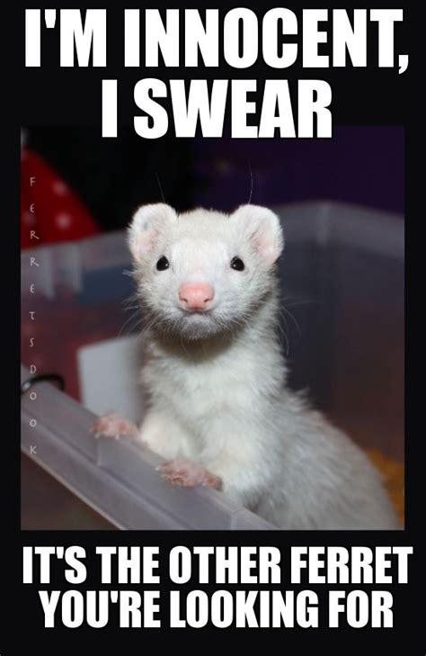 Ferret Meme - pin by jen s on ferrets pinterest