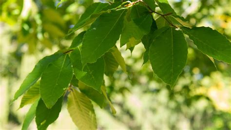 american maple tree uk american beech dominating abundance of maples declining due to climate associated changes in