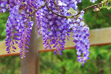 copy right free pictures of purple wisteria purple wisteria flowers bean tree wisteria purple vine stock photo image of calm