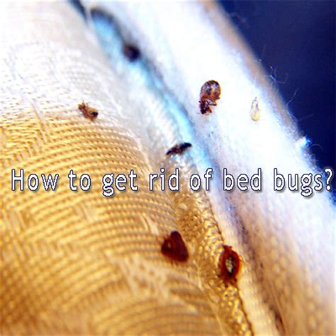 getting rid of bed bugs diy diy do it yourself home improvement hobbies garden