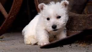 Thailand House For Sale Puppy West Highland White Terrier Youtube