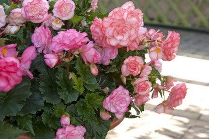 begonias outdoors rhs gardening