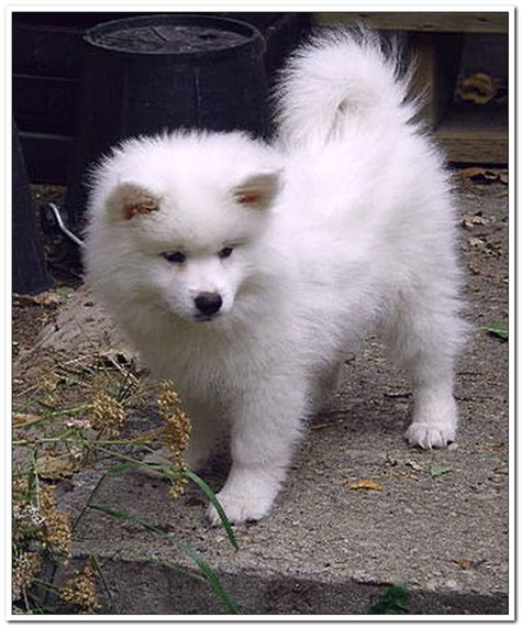 eskimo spitz puppies 25 best american eskimo puppy ideas on