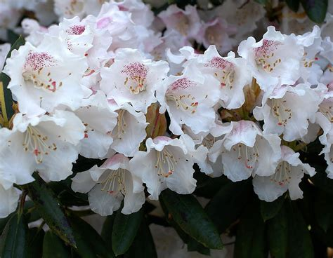 photos of nature photos of rhododendron flowers