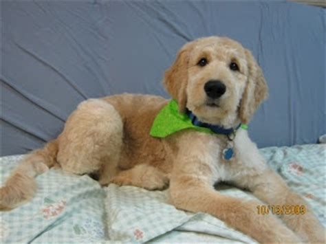 why is my goldendoodles hair short goldendoodle haircut puppy love pinterest