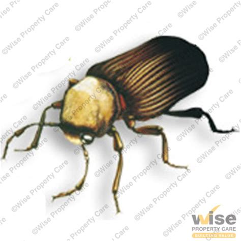 couch beetles what is woodworm learn all about woodworm