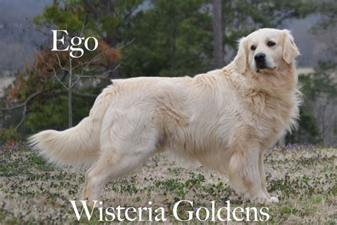 wisteria golden retrievers pin golden retriever puppies wisteria goldens on
