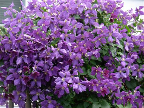 purple flower climbing vine flickr photo - Climbing Plant With Purple Flowers