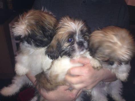 shih tzu dogs for sale uk shih tzu puppies december 2015