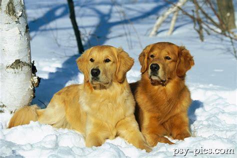 golden retriever puppies for sale in bahrain golden retriever opis rasy merry photo