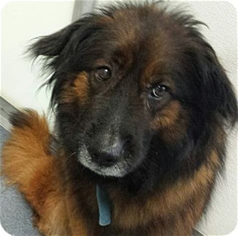dogs for adoption in va collie chow chow mix for adoption in glen allen virginia da18 available now