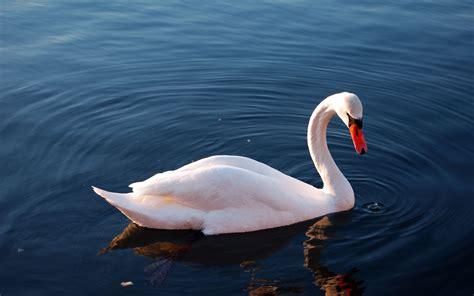 cool white swan bird water hd wallpaper wallpapers new