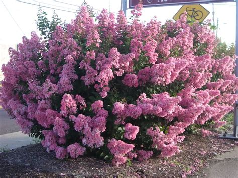 miniature shrubs that flower evergreen trees and landscaping on ornamental
