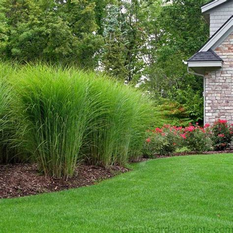 weeds in the backyard 4 feet tall miscanthus gracillimus is a versatile ornamental grass