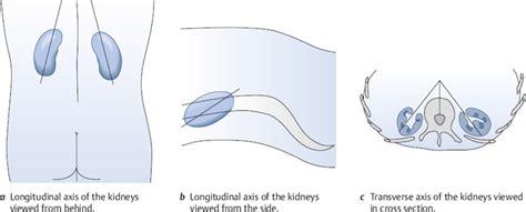 Transverse Section Of A Kidney by Kidneys Radiology Key