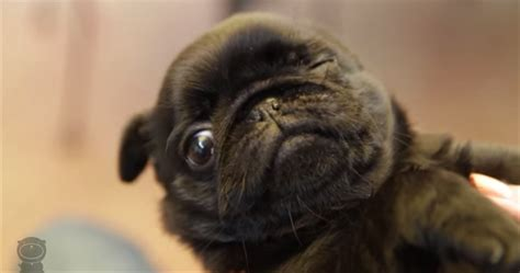 are pugs noisy pug puppies are magical mega compilation