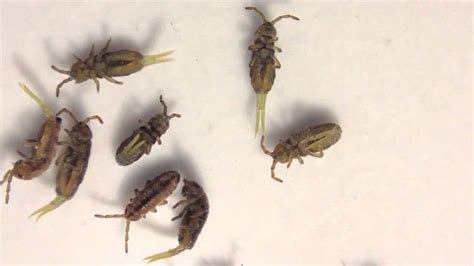 springtails in bed springtails collembola isotomurus species youtube