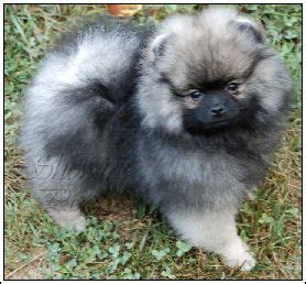 wolf pomeranian 317 best images about i pomeranians on real wolves and puppys