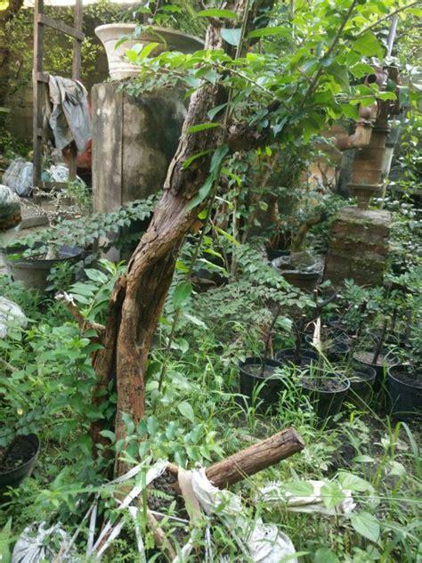 Sisir Indo 272 sisir jual bonsai murah pohon tanaman indonesia