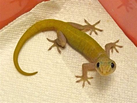golden gecko facts  pictures reptile fact