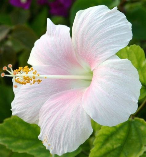 pin  hibiscus